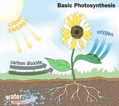 Photosynthesis Research for Sustainability